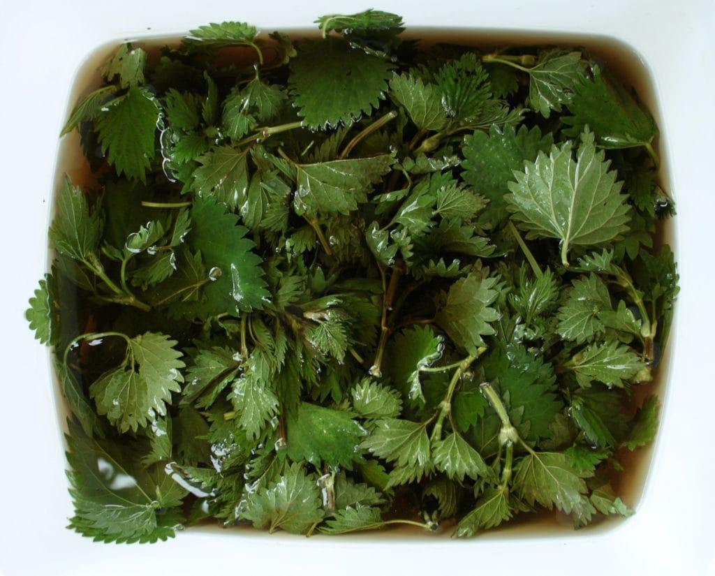 Soaking Stinging Nettles we found Foraging at Island Lake Lodge Untamed Kootenays #foraging #wildedibles #seasonal #ediblenature