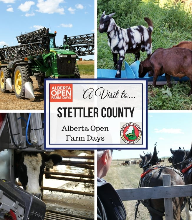 Alberta Open Farm days is a great initiative to get urban (and rural) people to see where their food is grown and to get to know the farmers and producers. Visit Stettler County and learn what this area has to offer #ABFarmDays #OpenFarmDays #DestinationStettler #ExploreStettler